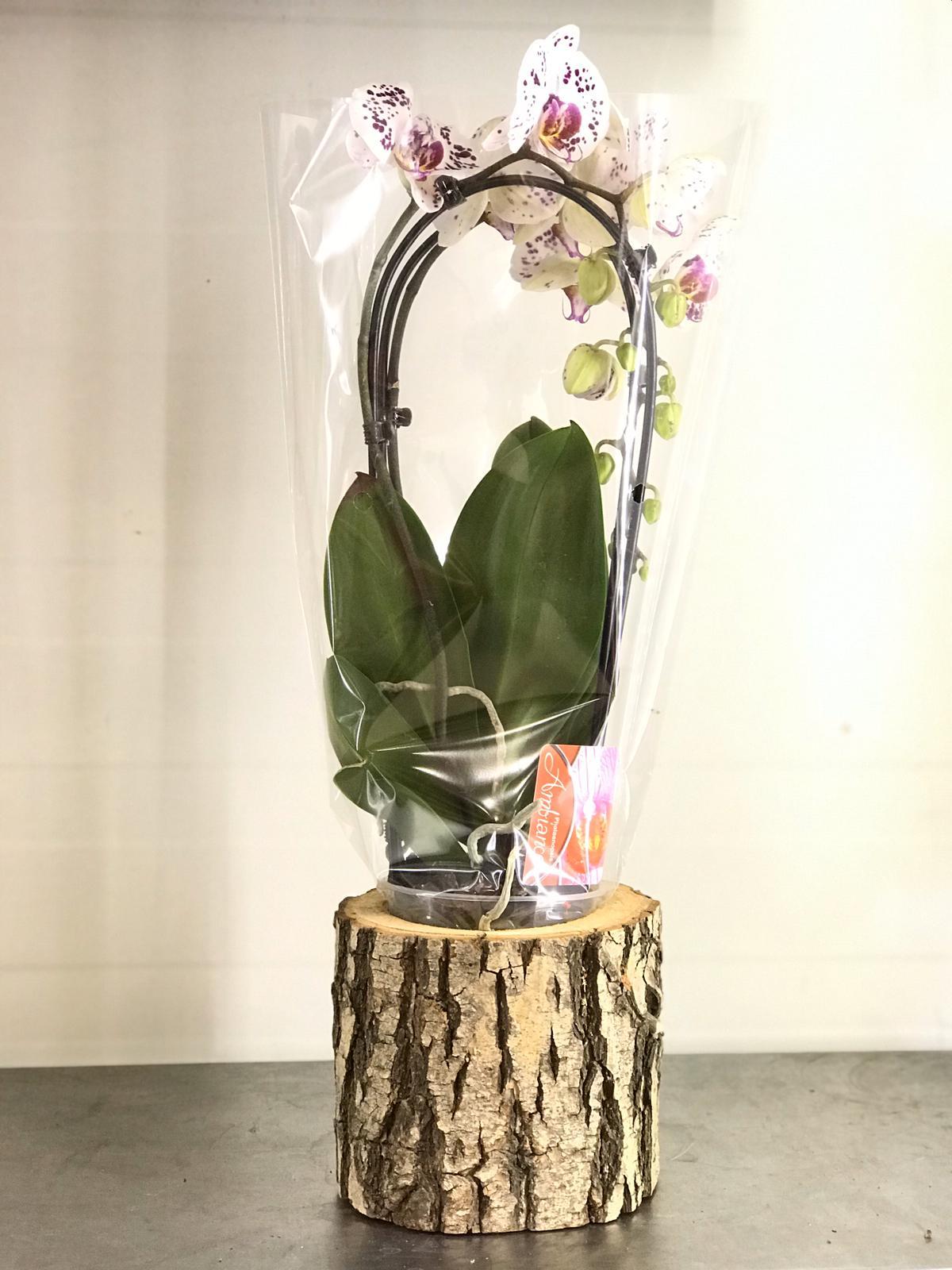 Ahþap Saksýlý Çift Dallý Mor Benekli Beyaz Orkide