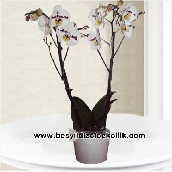 renkli orkide